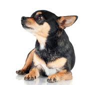 Chihuahua dog isolated on white — Stock Photo