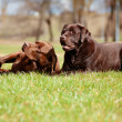 Stock Photo: Two brown labrador retriever dogs