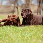 Two brown labrador retriever dogs — Stock Photo #24831073