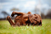 Brown labrador retriever dog rolling on the grass — Stock Photo