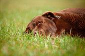 草で横たわっている茶色のラブラドル ・ レトリーバー犬 — ストック写真
