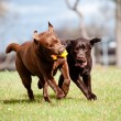 Brown labrador retriever dogs — Stok Fotoğraf #24924767