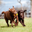Brown labrador retriever dogs — Stockfoto