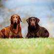 Brown labrador retriever dogs — Stock Photo #24924771