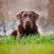 Brown labrador retriever dog — Stock Photo