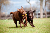 Brown labrador retriever dogs — Stock Photo