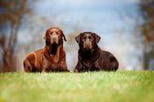 Brown labrador retriever dogs — Stock Photo