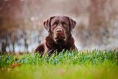 Brown labrador retriever dog — Stock Photo
