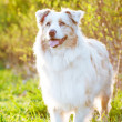Australian shepherd dog outdoors in sunset light - 图库照片