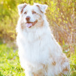 Australian shepherd dog outdoors in sunset light - Stok fotoğraf