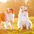 Two australian shepherd dogs in sunset light - Stok fotoğraf