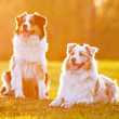 Two australian shepherd dogs in sunset light - Stockfoto