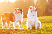 Two australian shepherd dogs in sunset light — Stock Photo