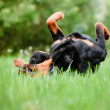 Rottweiler dog outdoors — Stock Photo #25170327