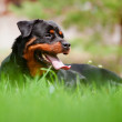 Rottweiler dog outdoors - Stockfoto