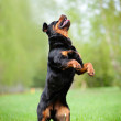 Rottweiler dog outdoors - Stock Photo