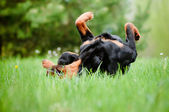 Rottweiler dog outdoors — Stock Photo