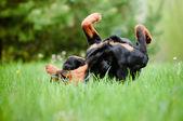 Rottweiler dog outdoors — Stock Photo