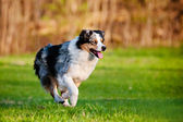 Australian shepherd dog running outdoors — ストック写真
