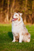 Australian shepherd dog outdoors — Stock Photo