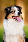 Australian shepherd dog portrait — Stock Photo