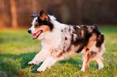 Australian shepherd dog running outdoors — Stock Photo