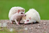 Two african hedgehogs outdoors — Stock Photo