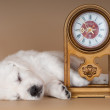 Adorable golden retriever puppy sleeping — Stock Photo