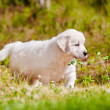 Adorable golden retriever puppy — Stock Photo