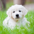Stock Photo: Adorable golden retriever puppy
