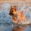 Belgishepherd dog in sea — Stock Photo #27121231