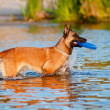 Belgian shepherd dog in the sea — Stockfoto