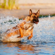 Belgishepherd dog in sea — Stock Photo #27121249