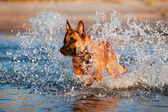 Belgian shepherd dog in the sea — Stock Photo