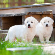 Golden retriever puppies outdoors — Stock Photo
