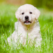 Beautiful golden retriever puppy outdoors — Stock Photo #27156933