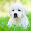Beautiful golden retriever puppy outdoors — Stock Photo #27156943