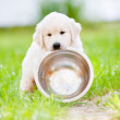 Beautiful golden retriever puppy outdoors — Stock Photo