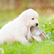 Beautiful golden retriever puppy outdoors — Stock Photo #27156951