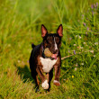 English bull terrier dog outdoors — Stock Photo