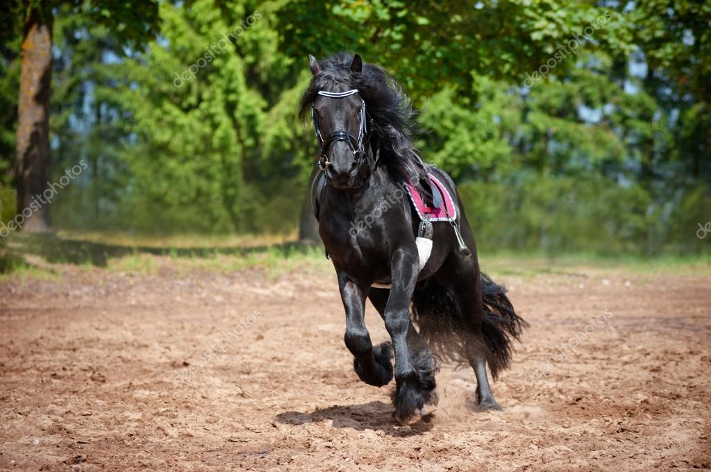 Friesian Horses Running Friesian Horse Photo by Ots