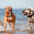 Two dogs playing on the beach — Stock Photo
