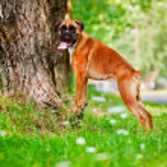 German boxer dog portrait — Stock Photo #28340019