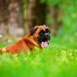 Stock Photo: German boxer dog portrait