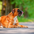 German boxer dog portrait — Stock Photo #28340033
