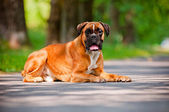 German boxer dog portrait — Stock Photo