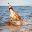 American staffordshire terrier dog playing on the beach — Foto de Stock