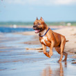 Americstaffordshire terrier dog playing on beach — Stock Photo #28355873