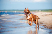 American staffordshire terrier dog playing on the beach — Stock Photo