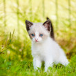 Adorable siamese kitten outdoors — Stock Photo